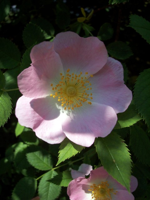 This plant is very common in hedgerows throughout England and Wales. It is the ancestor of the modern garden rose. It was a valuable medicinal plant and from the hips (pictured) Rosehip syrup which is rich in vitamin C is produced. It flowers June - July with the hips forming August - September. Pic...