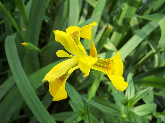 The yellow flag or Iris is a plant 40-150 tall, which arises from a stout rhizome with sword shaped leaves and bright yellow flowers with purple veins. The flower has parts in threes. The petals and sepals are both yellow. The three styles are also petal-like forming the uppermost crested part of th...