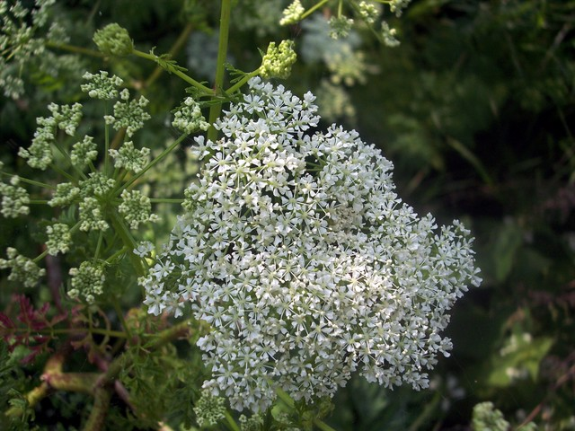 Hemlock is a very poisonous plant that contains alkaloid chemicals including coniine. It was used for executions in ancient Greece and it was a cup of hemlock that Socrates drank after his trial. All parts of the plant are poisonous but particularly the seeds. It resembles many harmless parsleys but...