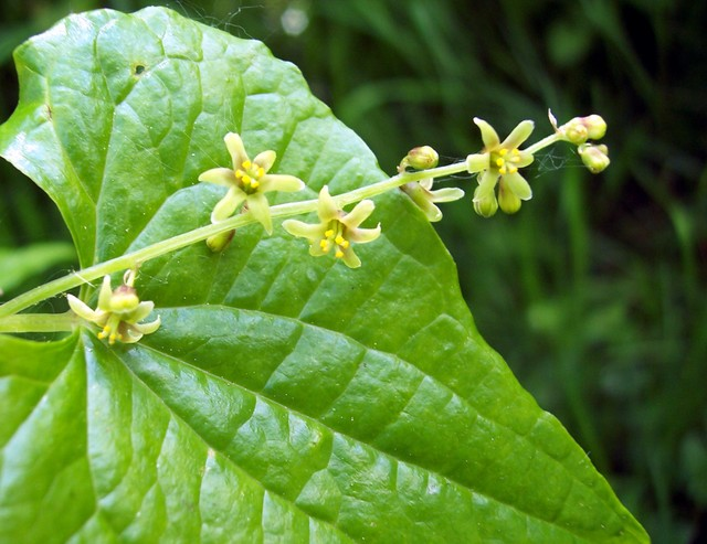This plant is the only member of the Biritsh Yam family. It is not related to white bryony. It is common in woodland edges and hedgerows on well drained soils. It name comes from its fleshy underground roots that are black. The tubers are poisionous unless boiled. It produces small green flowers. Th...