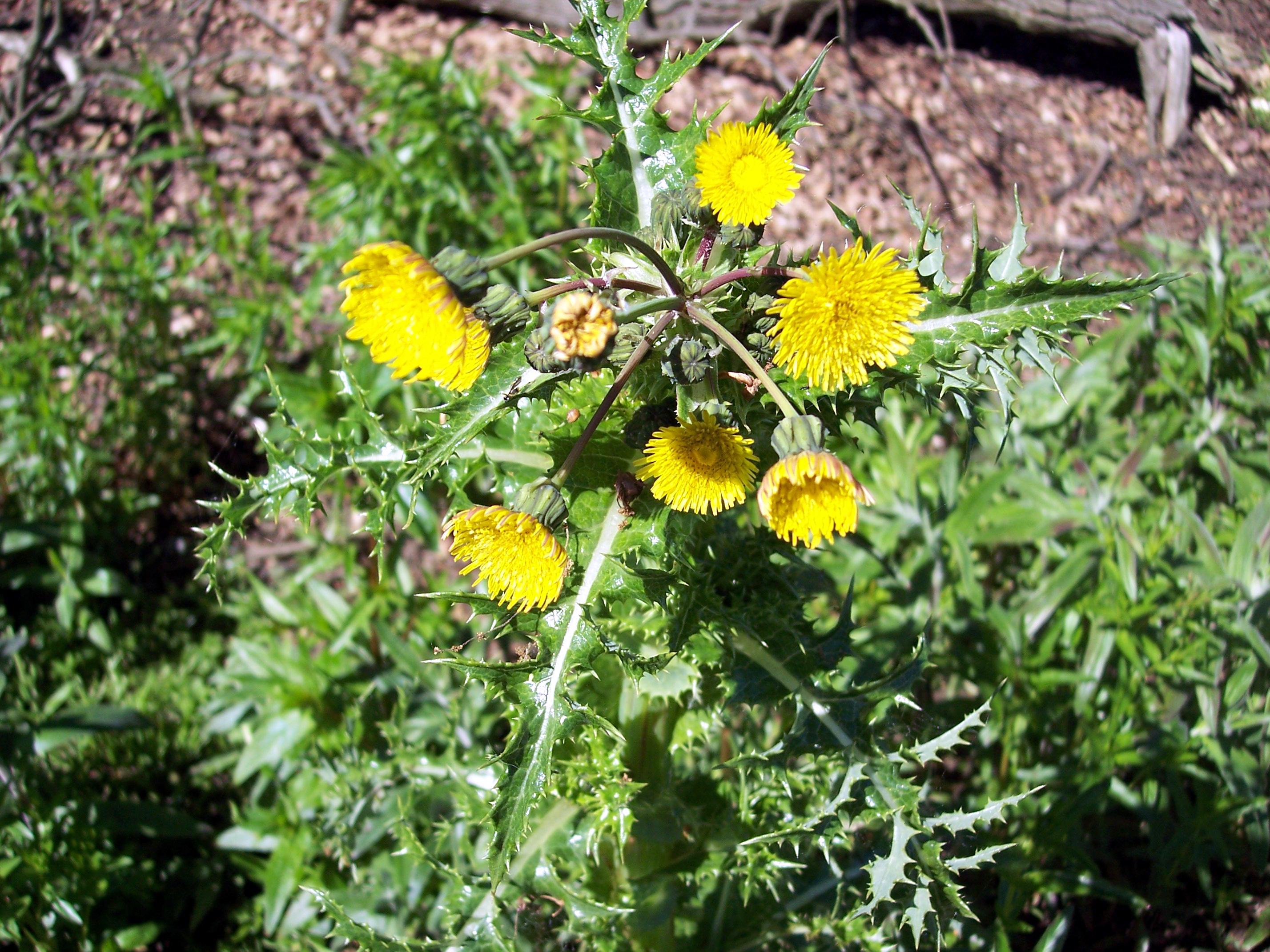 Prickly Sow Thistle Sonchus Asper Nen Gallery