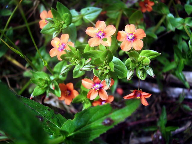 This plants bright flowers with overlapping petals are usually scarlet but can be pink and even white. The flowers only open for a short time each day between 8am and 3pm and not at all if it is overcast. Because of this it was also known as a 'Shepherd's sundial'. It is a sprawling many branched pl...