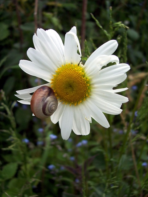 This large daisy, with flowers up to 5cm in diameter, grows on grassy banks, roadsides and meadows. It flowers mainly from June to August. In former times the plant was boiled and the extract used to cure many illnesses including chest and liver complaints and sore eyes. Picture taken at Stevington,...