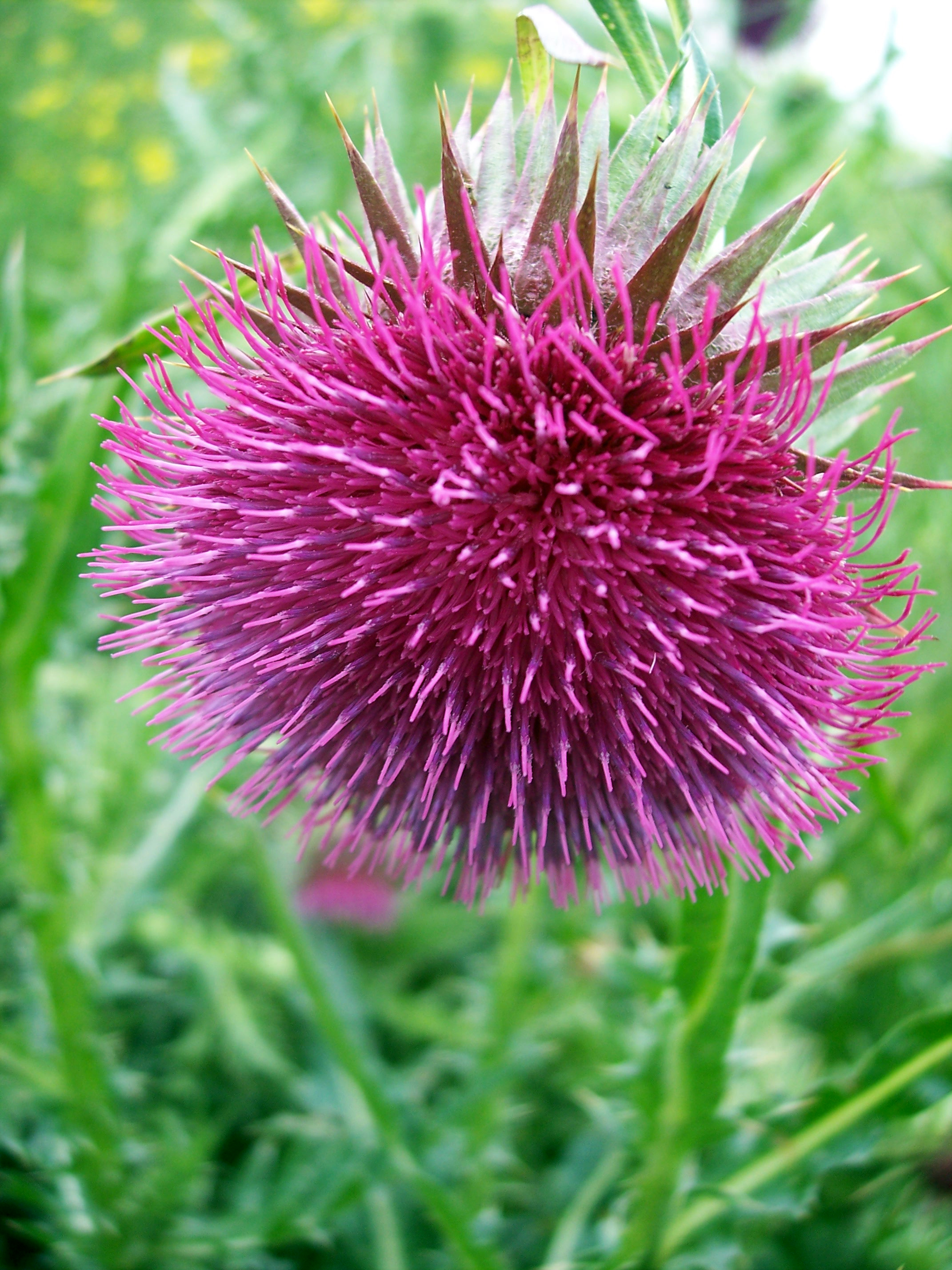 A relative of the welted thistle, the musk thistle has deeply dissected leaves and long spines.  The big drooping cup-shaped flowers are usually solitary and surrounded by spiny bracts, the outer ones being bent backwards. It flowers June to August and is common on damp grassy land.  Picture taken a...