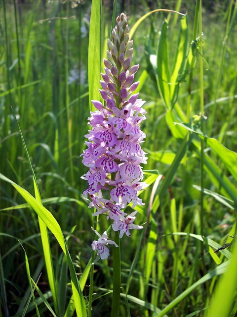 A pretty plant with flowers that vary from mid pink to almost white. The flower lobe is split into three almost equal lobes, the middle lobe being triangular and slightly larger.  The leaves are slightly folded, grey green with dark spots.  This orchid is common on damp meadows and marshes but avoid...