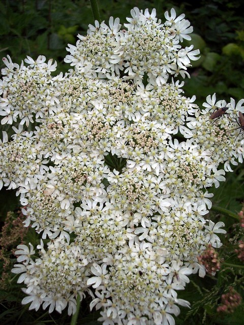 A Common species of the parsley family, Hogweed is a stout upright plant (60-180cm) with a ridged stem and deeply lobed crinkled leaves and many small clustered flat white flowers. It gained its name because in the past it was gathered for pig fodder. It contains a substance that can cause blisterin...