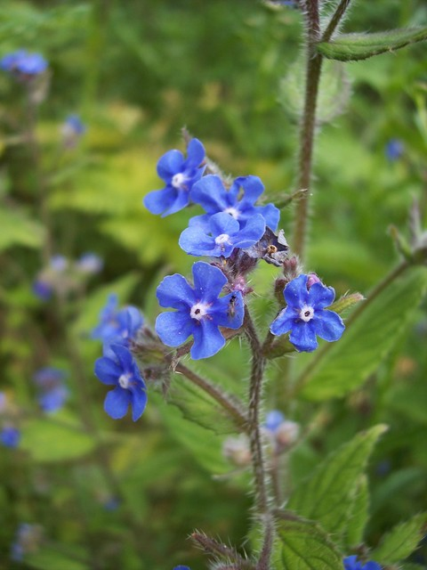 This plant was possibly introduced in the Middle Ages. A red dye has been produced from its roots since Egyptian times. More recently it has been used for tinting oils and cheap port wine. It has a funnel shaped flower; the mouth of the funnel is partly closed by five white scales. The blue flowers ...
