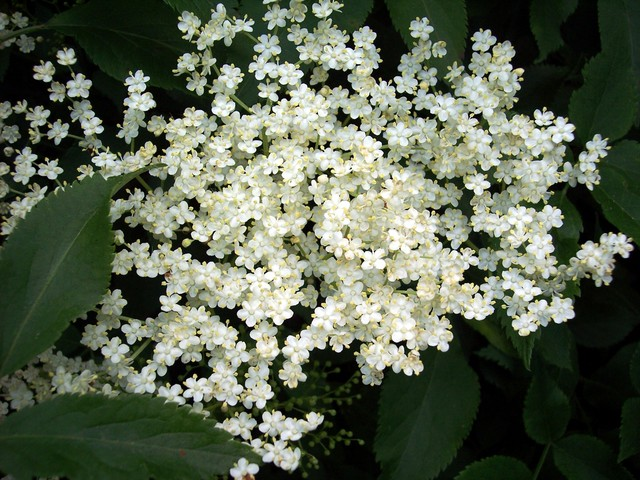 A shrub or small tree (up to 10m), elder is common in hedgerows, woods and scrubland. It has creamy five lobed flowers. In late summer / early autumn it produces black edible berries. Picture taken 7th June 2006 at Bromham, Bedfordshire