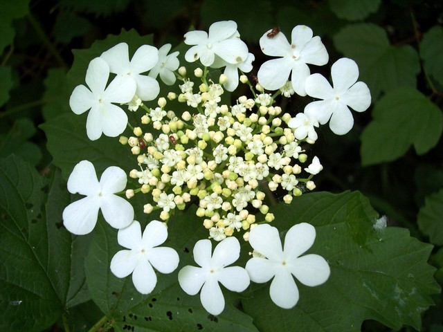 The Guelder Rose is a native British shrub up to 4 metres high. It occurs throughout Britain in woodlands, shrub, hedges usually on fertile, moist soils. The berries should never be eaten raw as they are mildly poisonous. Cooking destroys the poison properties and they are sometimes used in preserve...