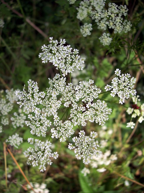 An upright plant with purple spotted stems covered with short stiff hairs. The leaves are divided into two or three lobes and are downy on both sides. The flowers form on stalks of different lengths giving an umbrella-shaped head. The white flowers have notched petals. The plant is poisonous and can...