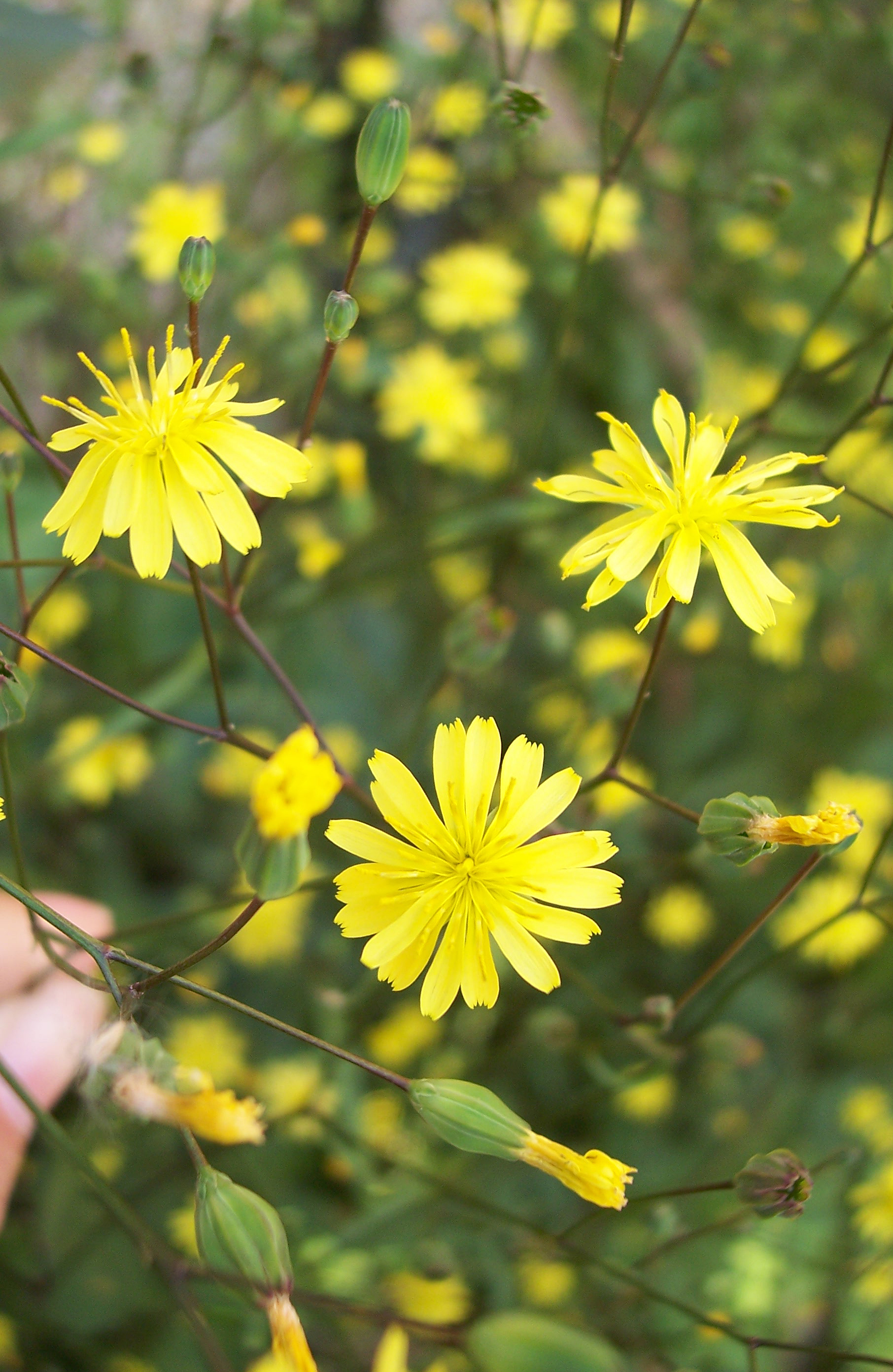 Nipplewort Lapsana Communisa Tall Plant Up To 1m With Small