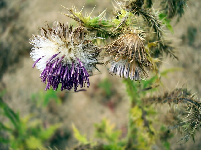 The thistles that flowered early are now dying off and beginning to seed, a process that will continue throughout the summer and early autumn. Picture taken June 25th at Odell Great Wood, Bedfordshire