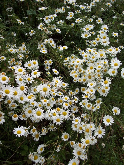 This large daisy, with flowers up to 5cm in diameter, grows on grassy banks, roadsides and meadows. It flowers mainly from June to August. In former times the plant was boiled and the extract used to cure many illnesses including chest and liver complaints and sore eyes. Picture taken June 24th 2006...