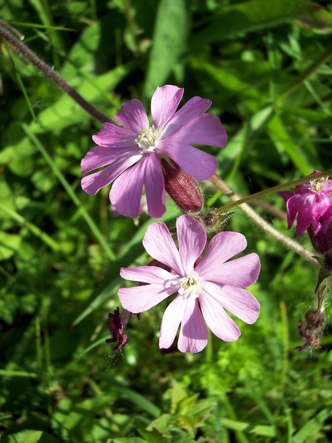 This plant is very similar to white campion and some plants are hybrids between the two species. A hairy plant with deeply lobed pink petals. It grows to between 30 and 100 cm tall. The plants are dioecious, that is there are separate male and female plants. The male plants with 10 stamens and the f...