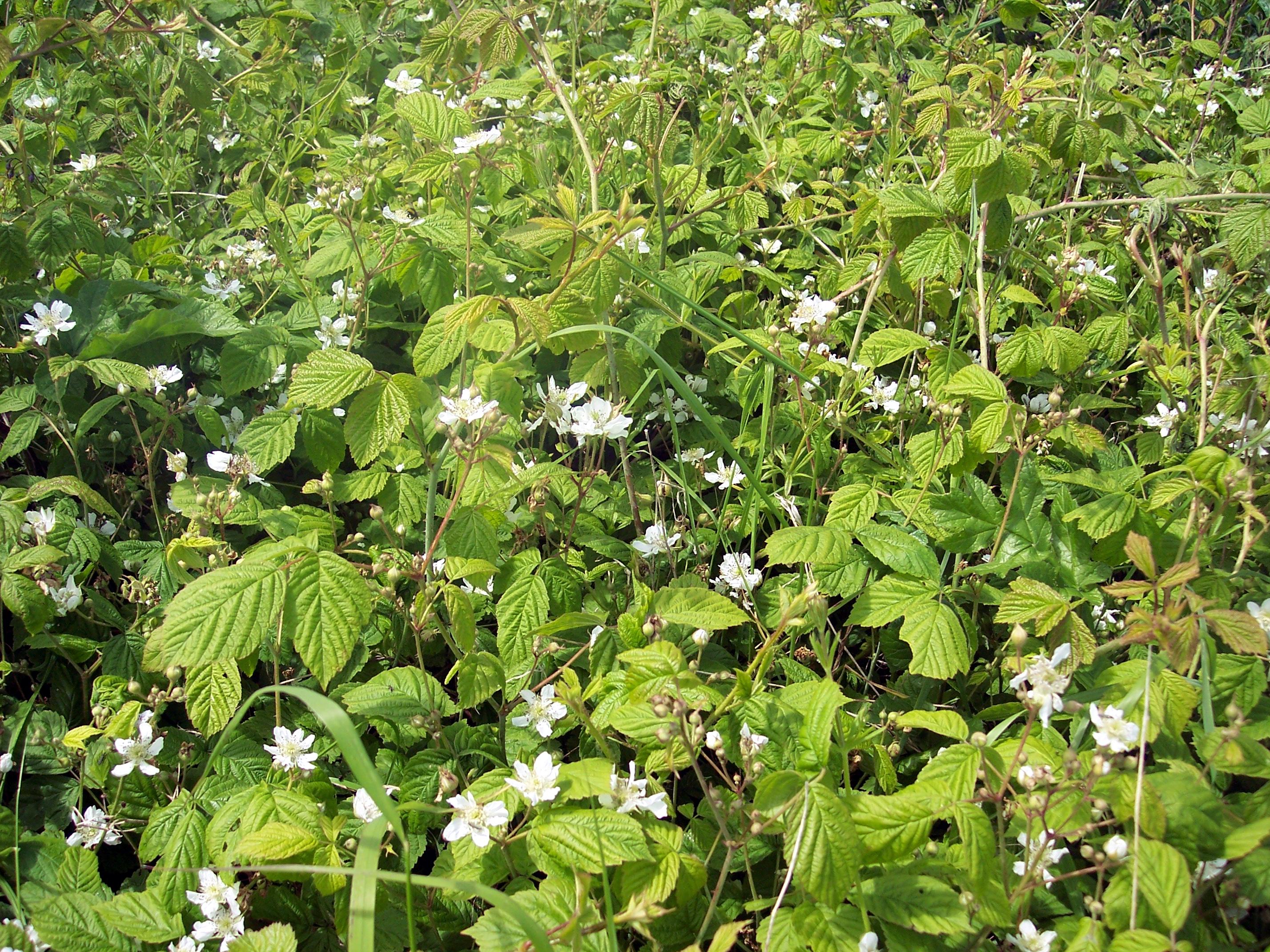 Bramble -Blackberry (Rubus fruticosus): NEN Gallery