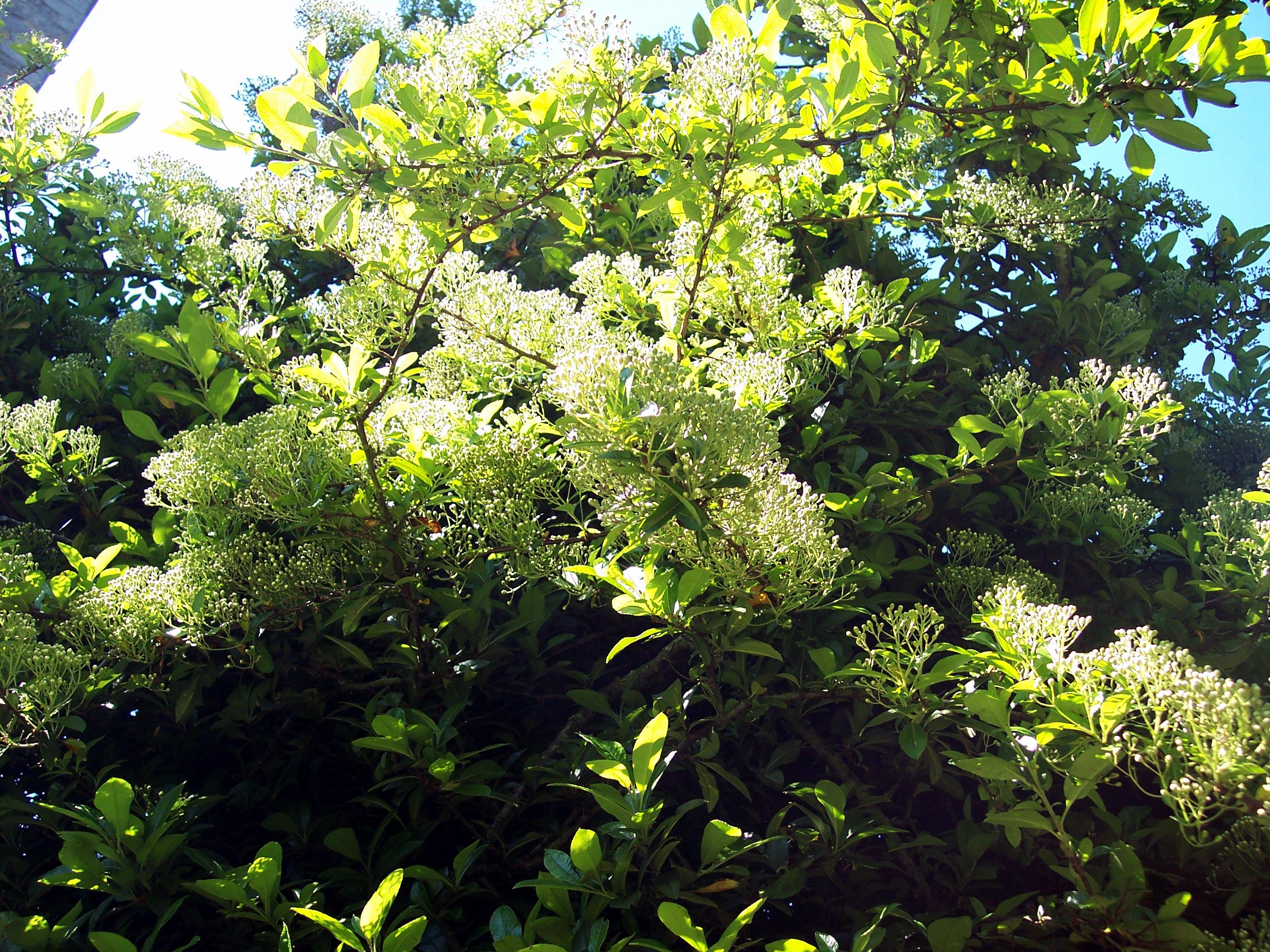 Cockspur Thorn Or Flowering Thron Crataegus Crus Galli Variety Or