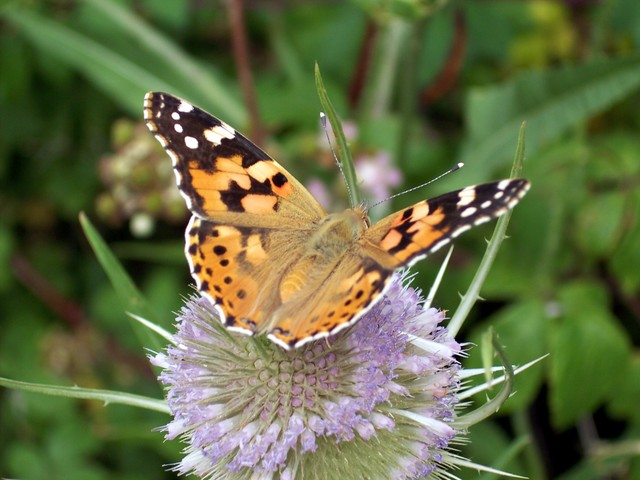 Possibly the most widespread butterfly in the world, occurring in North and South America, Europe, Asia and Africa. It lays its eggs on plants such as thistle or mallow. The yellow-green striped, purple to black caterpillar (up to 3cm) has long spines on each segment. After 5 - 10 days continuous fe...