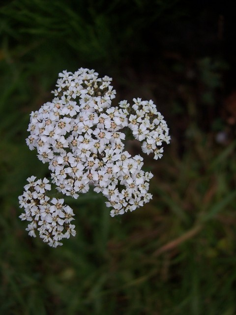 A very common plant of roadsides and hedges. In legend yarrow was used by Achilles to cure wounds made by metal. In the past it was also used to drive away evil and sickness and to prevent people being hurt in love. It has numerous feathery leaves and white clustered flowers. Picture taken 6th July ...