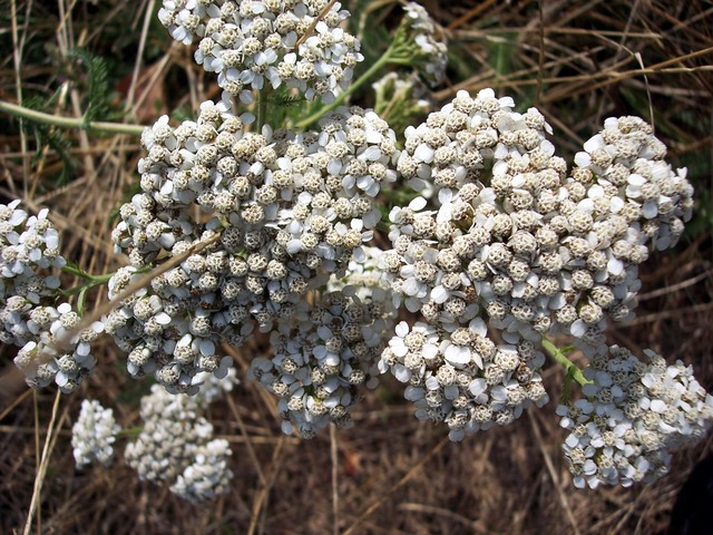A very common plant of roadsides and hedges. In legend yarrow was used by Achilles to cure wounds made by metal. In the past it was also used to drive away evil and sickness and to prevent people being hurt in love. It has numerous feathery leaves and white clustered flowers. Picture taken 28th July...