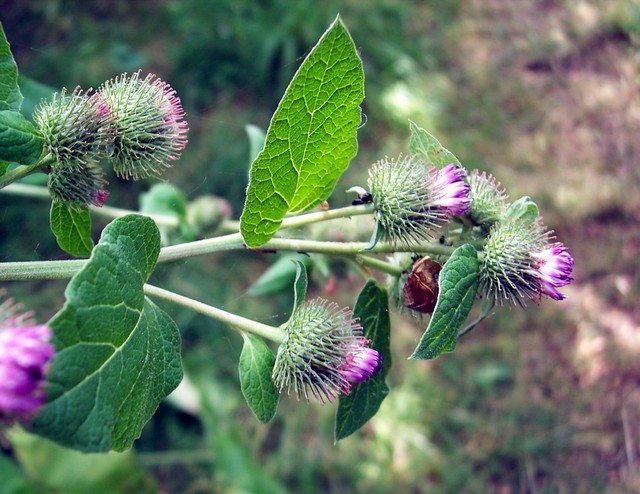 Burdock is characterised by the round burrs that stick to clothing. They have hooks at the end of the bracts, this allows the plant to spread its seeds over a wide area. The plant has upright stems with several branches. Its purple red flowers can be seen between July and September (although this pl...