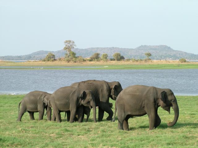 Wild Indian Elephants: E2BN Gallery