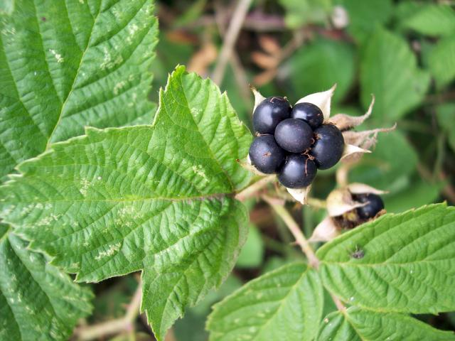 This plant has white flowers similar to bramble, short weak prickles and leaves that always have three leaflets. The eventually black fruits with a bluish bloom only have a few segments and are larger than those of bramble. Picture taken 25th July in woods near Old Warden, Bedfordshire.
