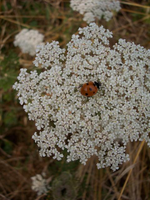 Wild carrot has small white flowers with petals that are often uneven in size. The central flower is often purplish-red. The fruiting head is concave and the fruits have long spines that attach themselves to passing animals. It is an upright plant with stiff hairs and ridged or lined stems. It has v...