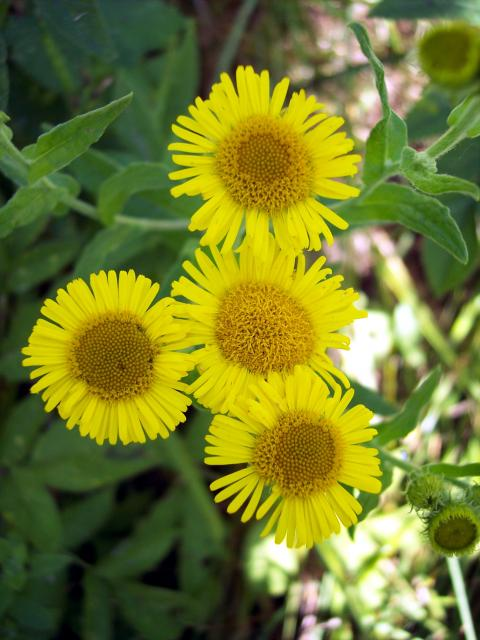 A plant that grows on marshy ground, in meadows and ditches. It is common throughout Britain. Each flower consists of a cluster of florets surrounded by a ring of ray florets. The flowers are yellow. The seeds are hairy with a parachute composed of long hairs. The lower leaves on the plant narrow in...