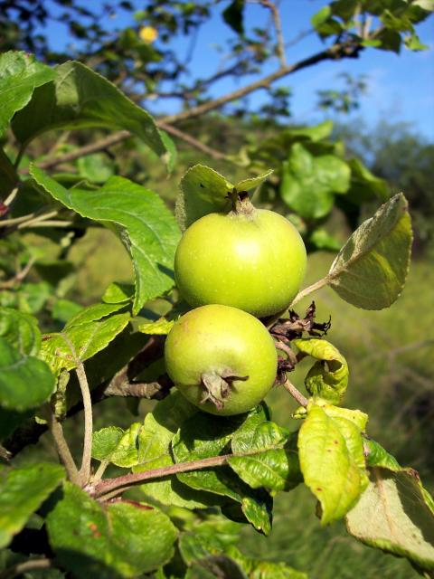 Crab apples forming on tree. Crab Apples ia a small thorny tree with irregular scaley bark and toothed oval leaves. In May it produces white-pinkish flowers. The fruits a globular about 2cm and look like small apples but are acrid. The tree is native in old oak woods. Picture taken 15th July 2006 at...