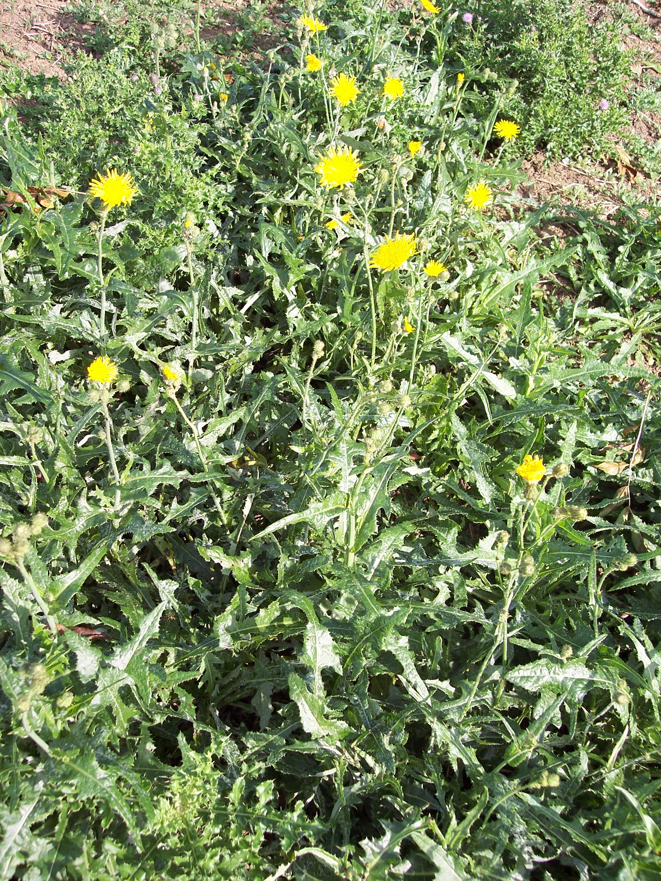The Perennial Sow-thistle has bright yellow florets similar to the dandelion but these are held on branched stalks rather than singularly one per stem. The dark green leaves are also edged with fine spines. The involucres (or bracts) below the florets are covered in sticky gland-tipped hairs. Sow-th...