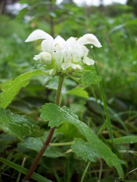 A common plant with white hooded flowers that grows in hedgerows, wastelands.  The plant relies on Bumble Bees for pollination and the flower shape is suited to this.  It is called a dead nettle as it lacks the stinging hairs.  It has a long flowering period from May to December. Picture taken near ...