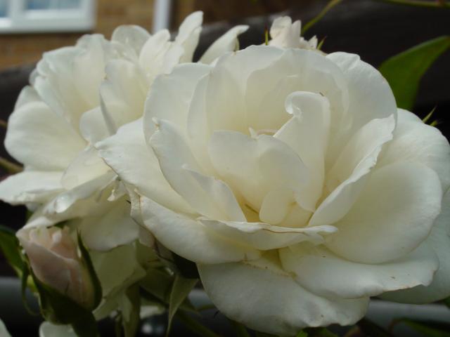 Роза плетистая клайминг айсберг 3
