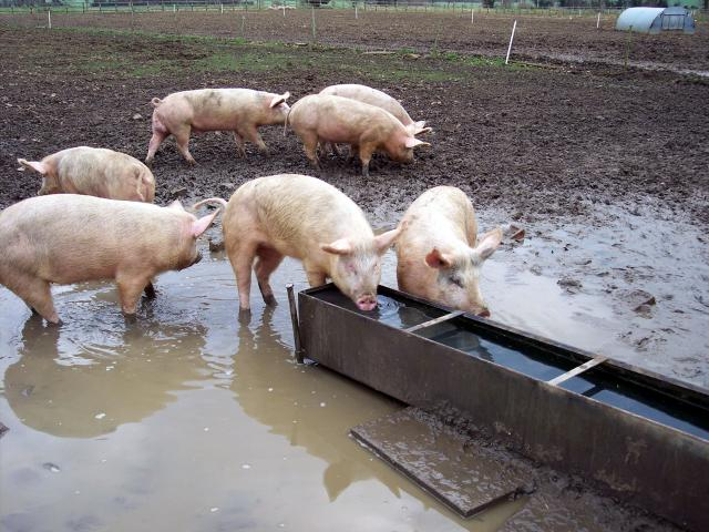 The pigs are different sizes. As they develop some will be selected for pork and some bacon. The pigs seleted for pork go to market earlier as the joints of meat do not want to be too large. The reamining pigs are feed up until they reach a suitable weight for bacon. There is a pork weight and a bac...