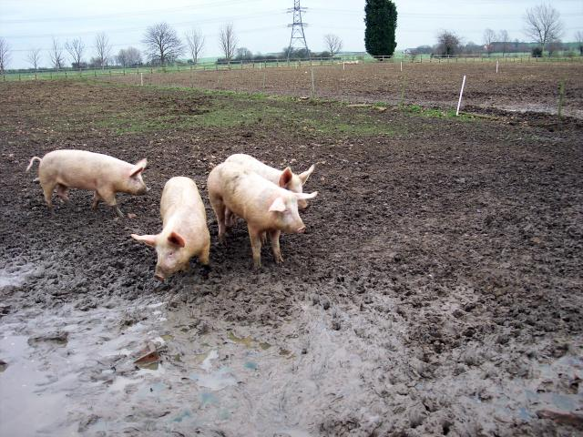 The pigs are different sizes. As they develop some will be selected for pork and some bacon. The pigs selected for pork go to market earlier as the joints of meat do not want to be too large. The remaining pigs are feed up until they reach a suitable weight for bacon. There is a pork weight and a ba...