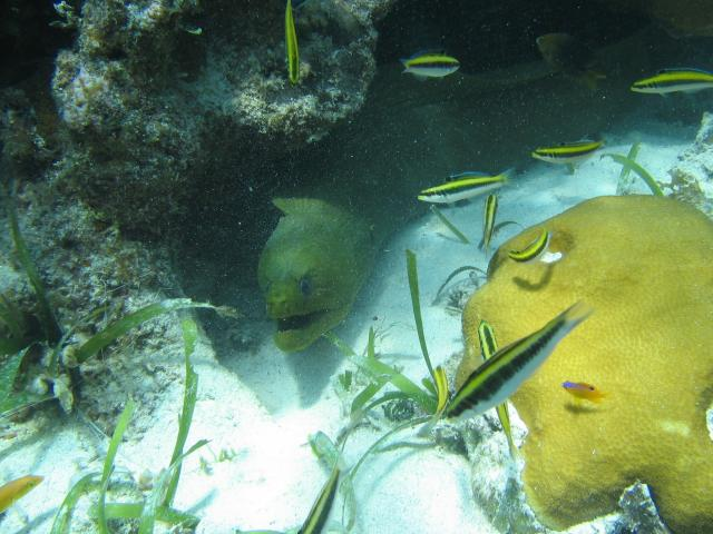 Green Moray with clown wrasse fish