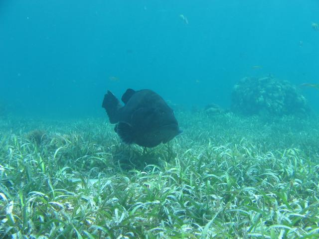 a large grouper fish in the caribbean off the coast of Belize.