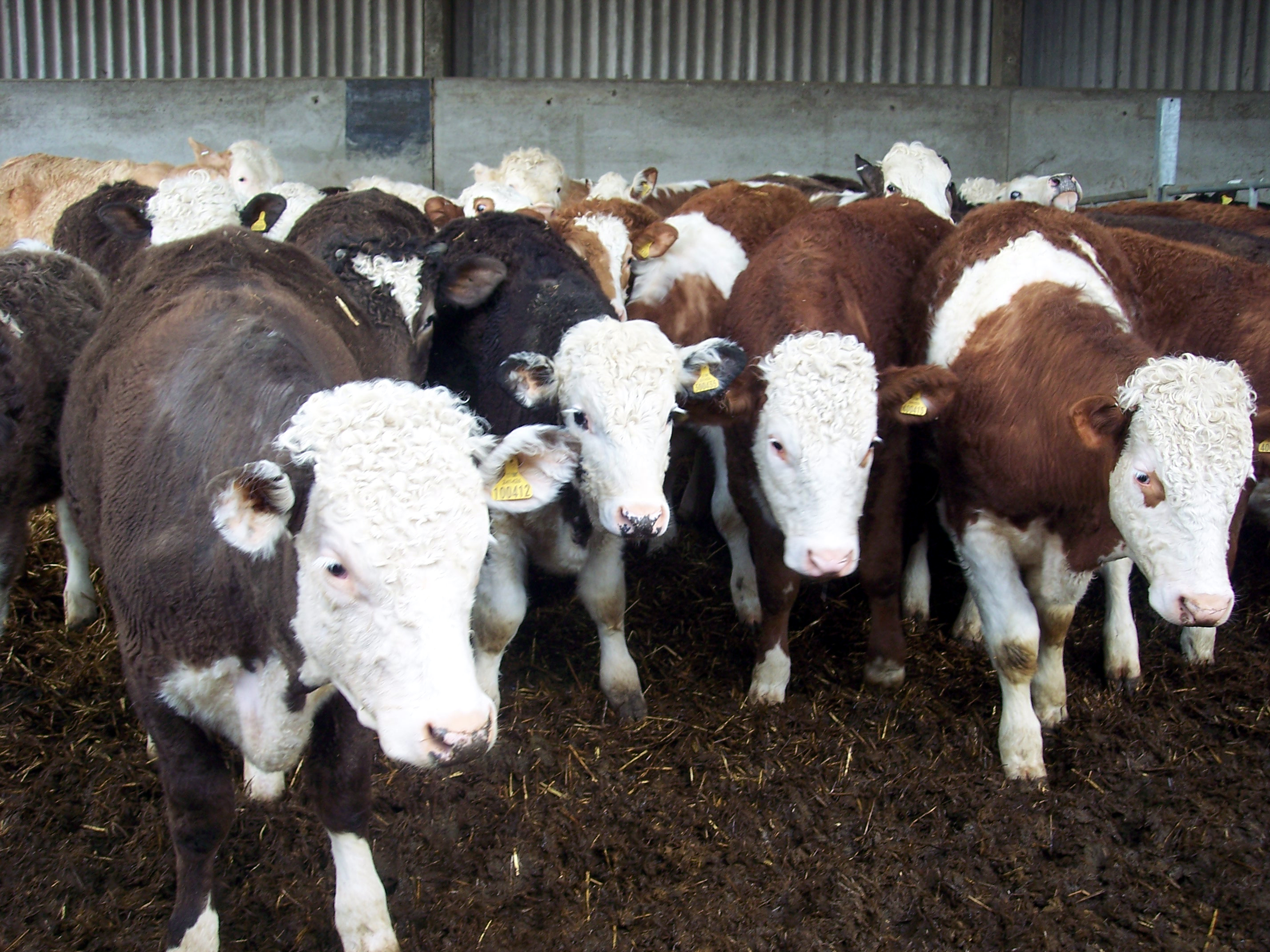 Great care is taken to produce quality meat at Foxhills farm in Hertfordshire. Calves are reared naturally on their mothers for 8 months and then graze Hertfordshire pastures. The farmer does not use any G.M. Feed, artificial fertilizer or sprays and does not use routine antibiotics. The cattle are ...