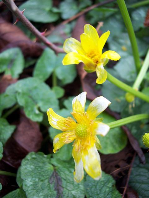 One of the earliest flowering plants, Lesser Celandine can carpet damp woods and meadows in yellow. Its flowers open to the sun and close in dull weather. Each flower has 8-12 petals and three sepals. The heart shaped leaves grow on long stalks. The fruiting head contains numerous fruits. It flowers...