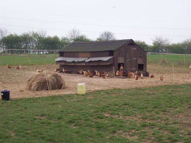 Between 130 and 140 hens are kept at Oak House farm in Suffolk to produce eggs. These hens are known as laying birds. They live in a mobile hen house and have access to the outside. The hen house and enclosure is moved up and down a strip of land so that the hens have access to a fresh grass area wh...