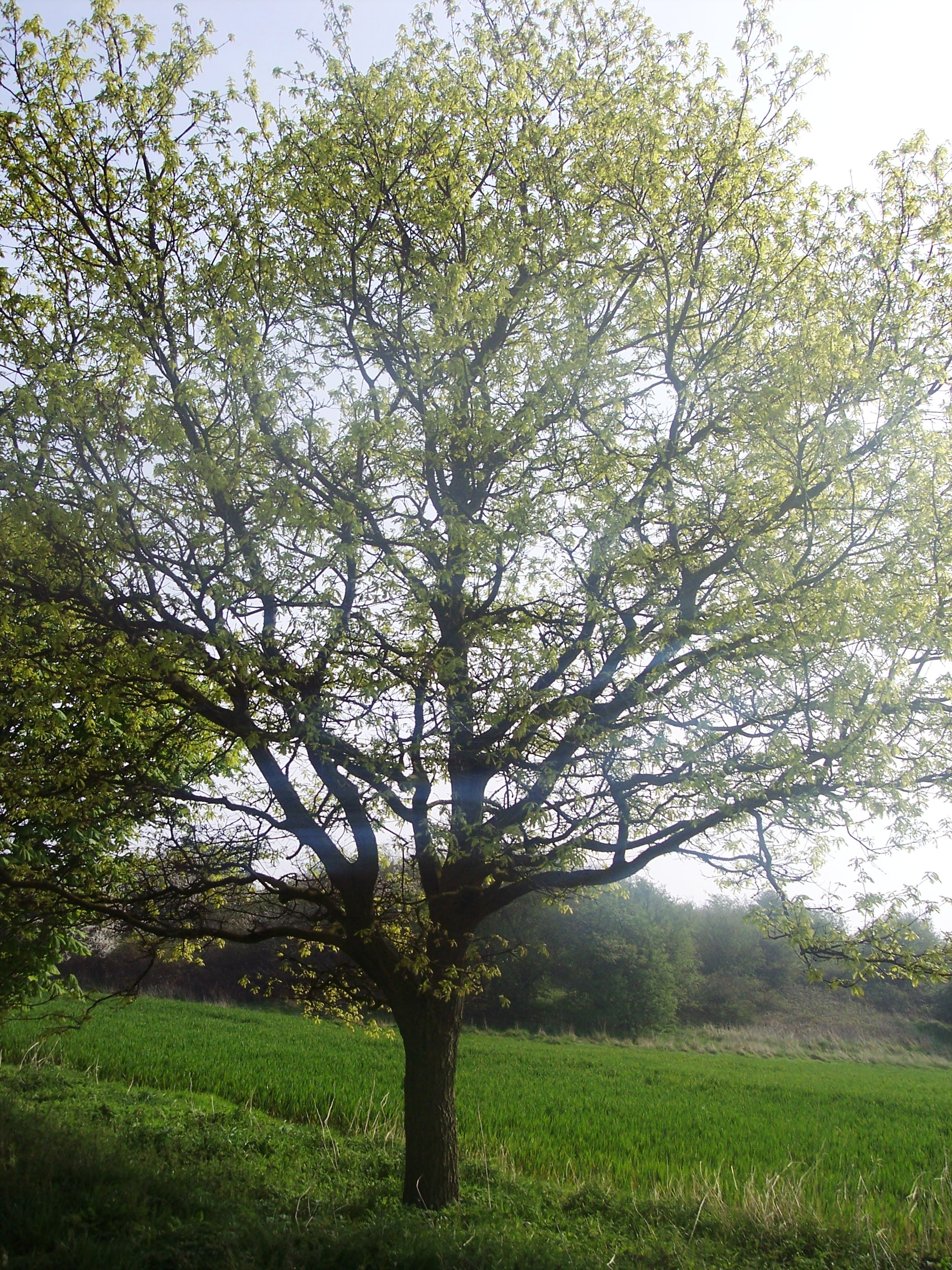 This is a tree of lower ground. It can reach 25 - 30 metres, however its diameter is less than that of the Sycamore. It differs from Sycamore in having reddish brown buds pressed close to the twig and sharply pointed lobed leaves. The bright yellow/green flowers sit upright on the tree (pictured her...