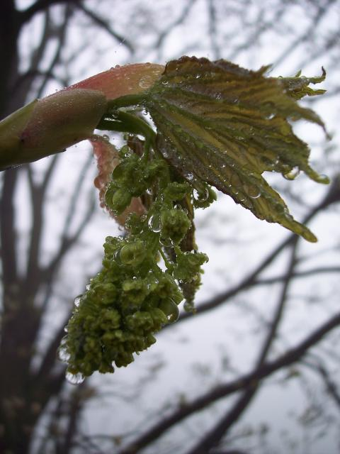 The sycamore can be recognised in winter by its upright green buds, the scales of which are edged with brown.  It has grey-brown bark. The sycamore tree can reach a height of 30-35 metres. It has distinctive 5-7 lobed leaves that are coarsely toothed. It can live for several hundred years. It flower...