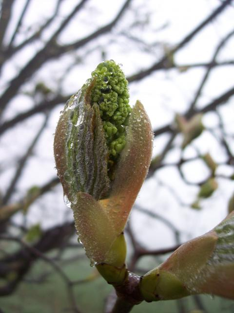 The sycamore can be recognised in winter by its upright green buds the scales of which are edged with brown.  It has grey-brown bark. The sycamore tree can reach a height of 30-35 metres. It has distinctive 5-7 lobed leaves that are coarsely toothed. It can live for several hundred years. It flowers...