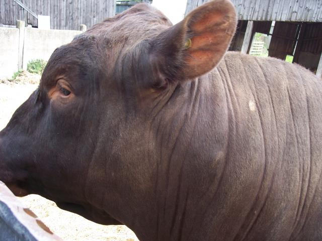 This is Vanish - a young Red Poll Bull. Unusually for a bull he is really friendly and likes the company of humans (although all bulls can be unpredictable and care still needs to be taken when handling them). His temperament and good proportions make him ideal as training as a show bull. This is wh...