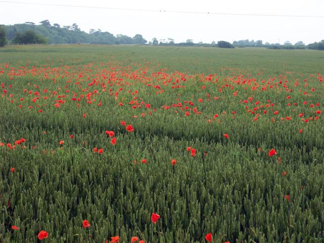 Poppies in a corn field near Cople, Bedfordshire 11th June 2007.