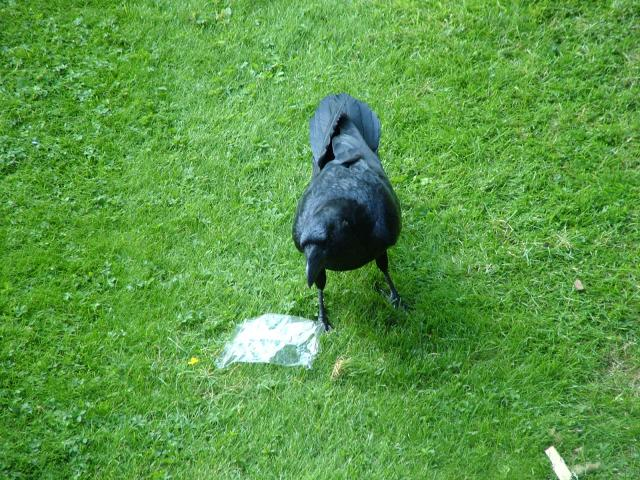 It is not known when the ravens first came to the Tower of London. Unusually for birds of ill omen, it is said that the future of both Country and Kingdom relies upon their presence at the Tower. According to legend, at least six ravens must remain there otherwise both the Tower and the Monarchy wil...