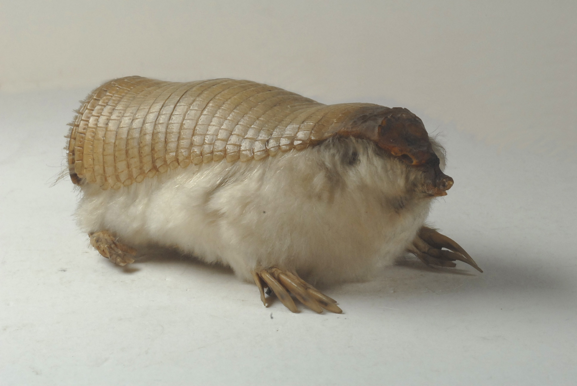 The smallest armadillo in the world.