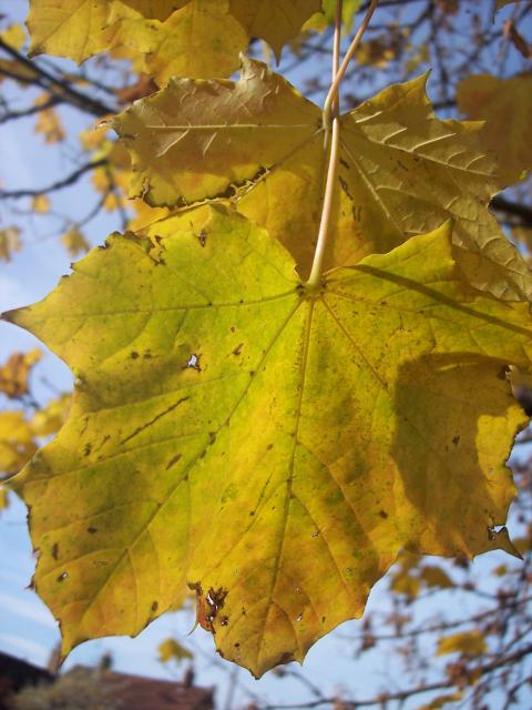 The Norway Maple can be distinguished from the Sycamore by its pointed leaves. This is a tree of lower ground. It can reach 25 - 30 metres, however its diameter is less than that of the Sycamore. It differs from Sycamore in having reddish brown buds pressed close to the twig and sharply pointed lobe...