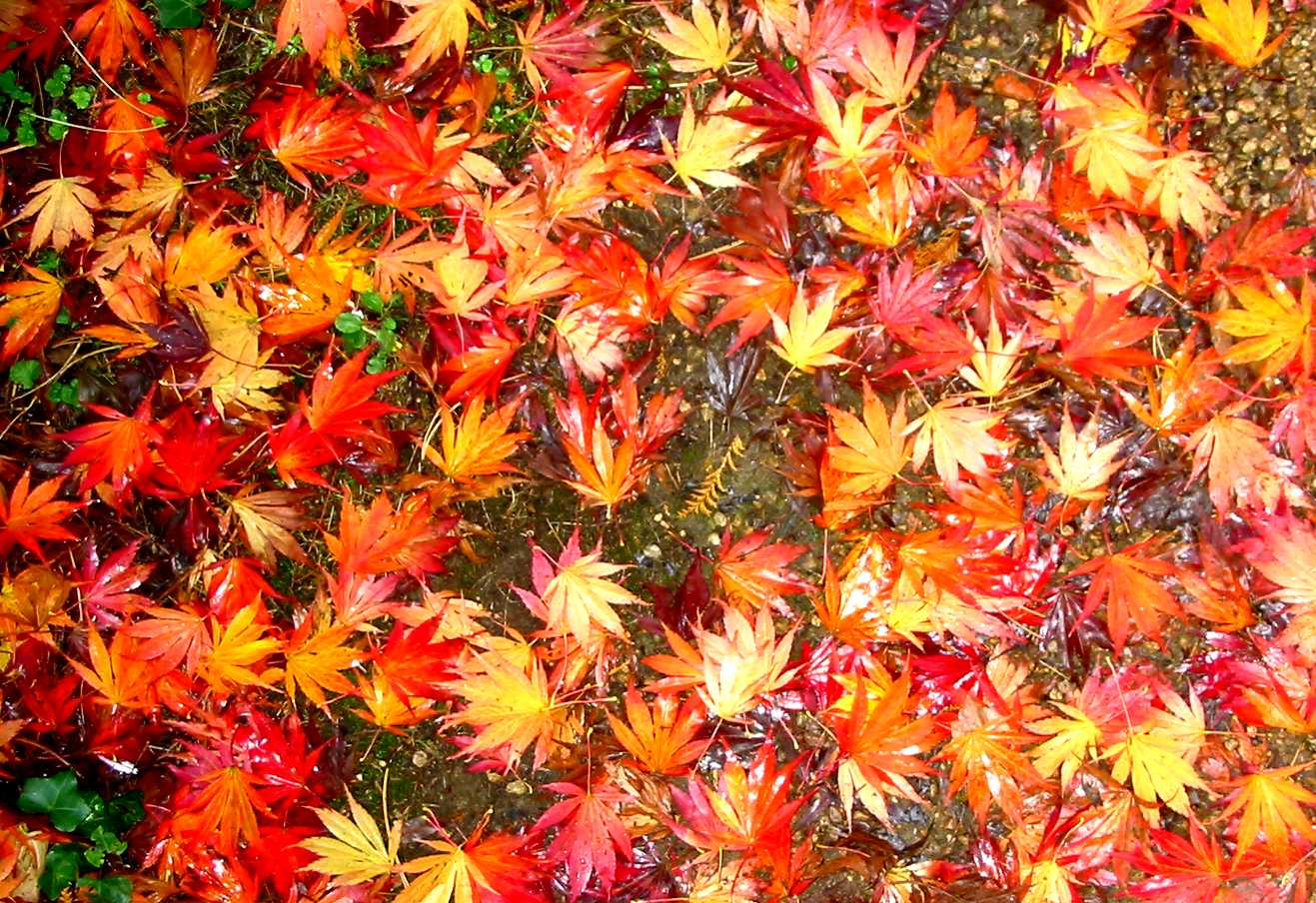 autumn leaves nen gallery maple leaf clip art free maple leaf black and white clipart
