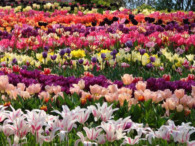 Rows of colourful tulips