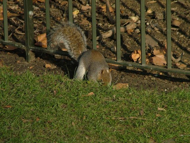 Squirrels are a common sight in Hyde Park and have become almost tame and take very little notice of the thousands of tourists wandering by.